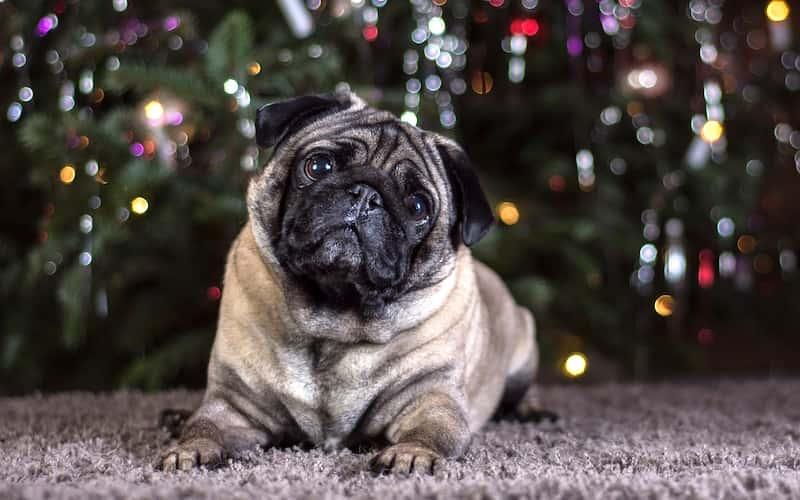 La Raza de Perros Pug está Condenada a Sufrir