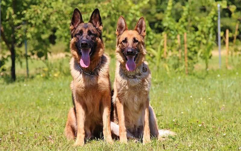 Perro pastor alemán.