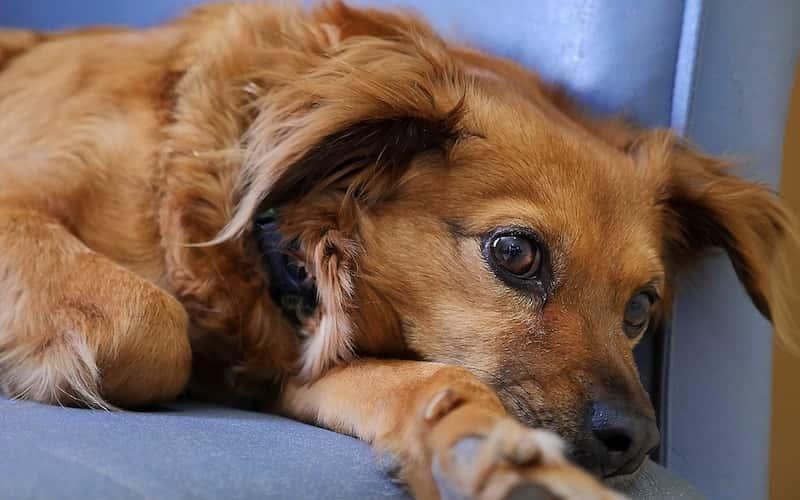 17 Preguntas sobre la Leishmaniosis Canina