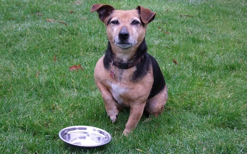¿Cuántas Veces Debe Comer mi Perro al Día?