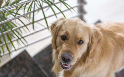 Diferencias entre Labrador y Golden Retriever