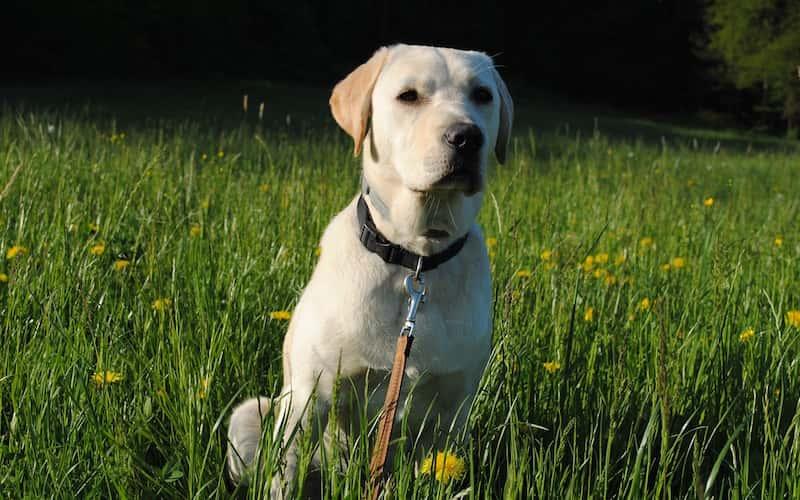 Características del Labrador Retriever.