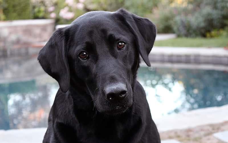 Personalidad del Labrador Retriever.