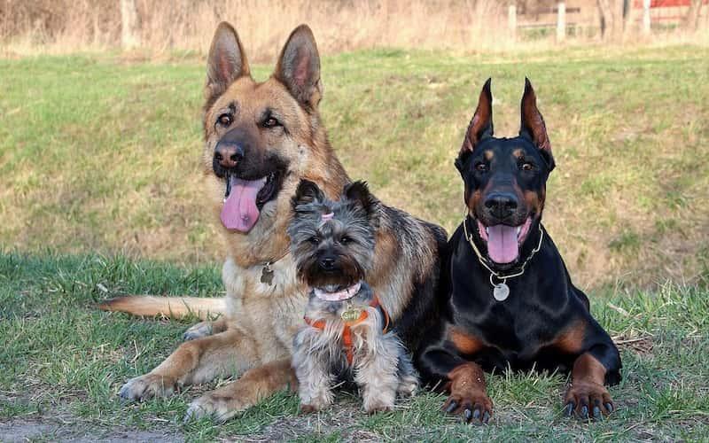 Nombres de Razas de Perros