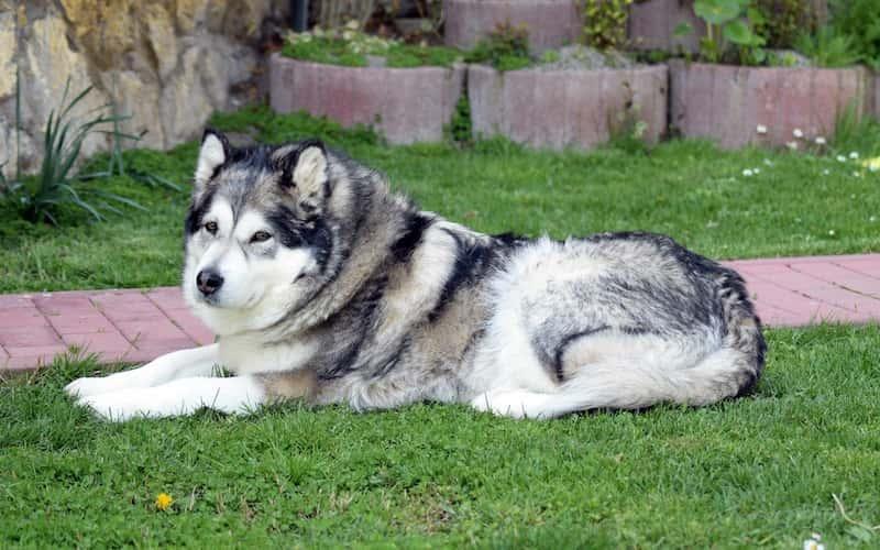 Cuidados del perro Alaska Malamute.