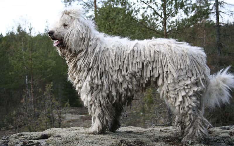 Perro Komondor.