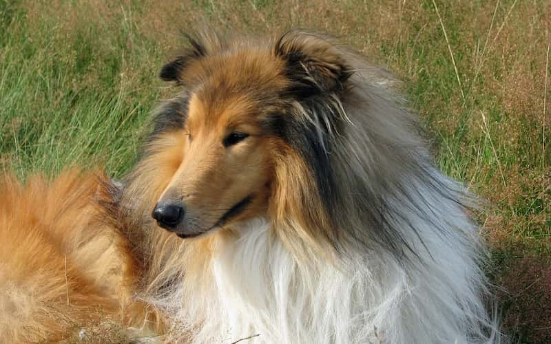 Perro Rough Collie.