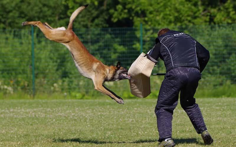 Características del perro malinois.