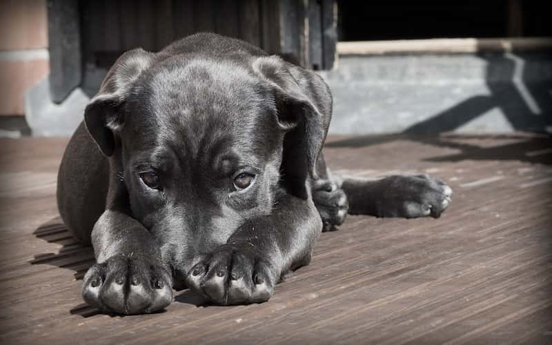 ¿Qué hacer si mi Perro tiene Diarrea? Causas y tratamiento