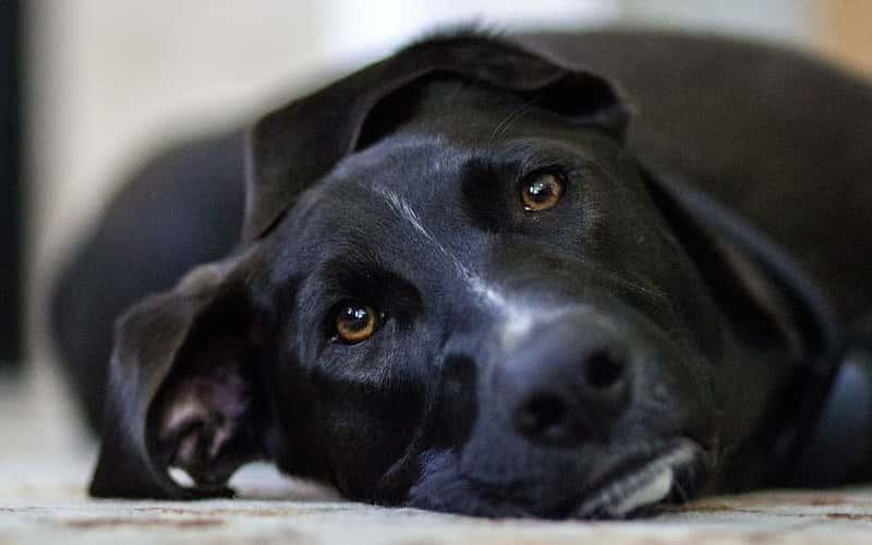 Tratamiento para la epilepsia canina.