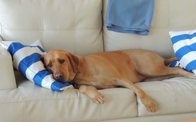 Tratamiento para la fiebre canina.