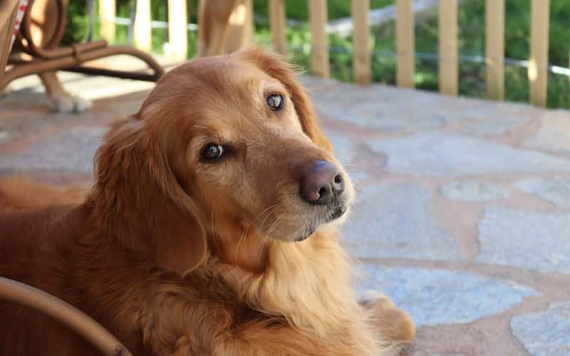 Raza Golden retriever.