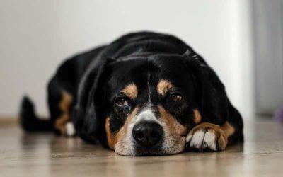 ¿Por qué mi Perro no Quiere Comer? Causas y Recomendaciones