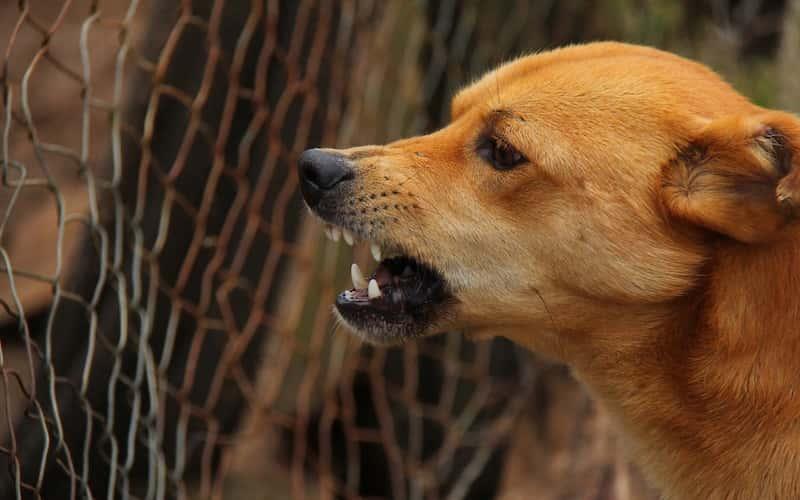 Rabia canina.