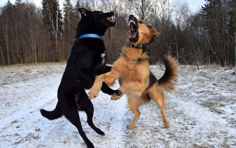 Tratamiento para la rabia canina.