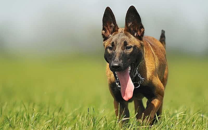 Características del perro pastor belga.