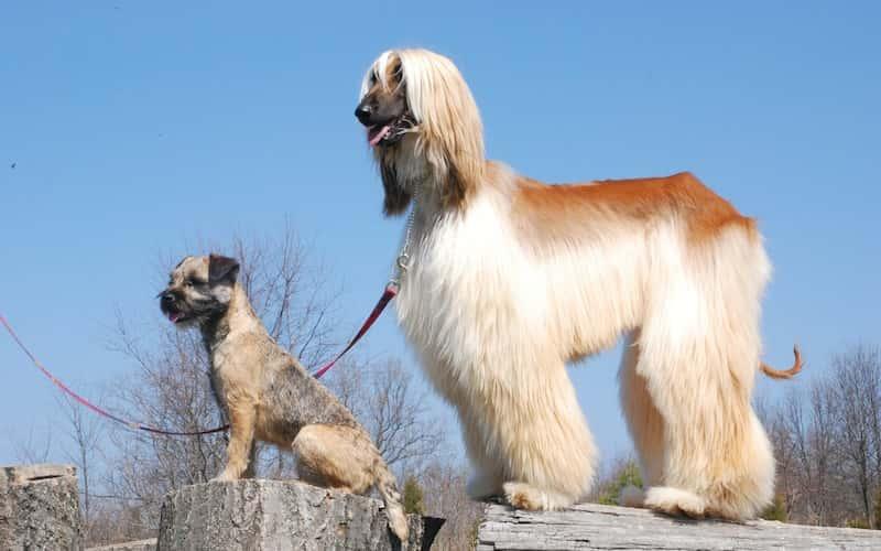 Cuidados del perro afgano.