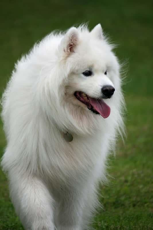 Información sobre el perro samoyedo.