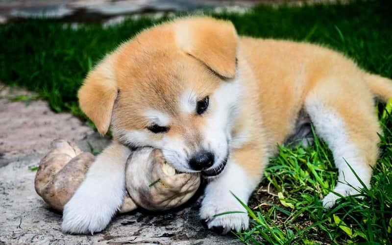 Cuidados del perro Akita.