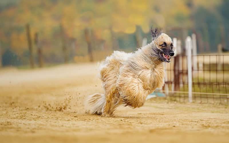 Cualidades del perro lebrel afgano.