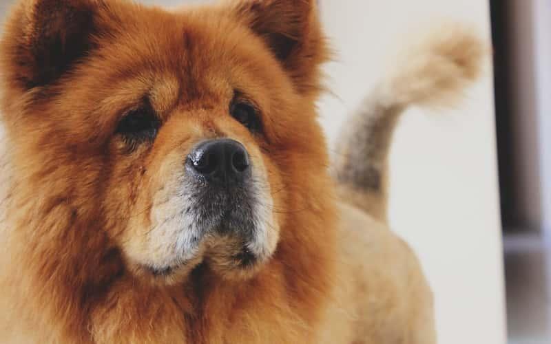 Descripción del perro Chow Chow.