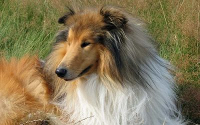 Perro Rough Collie
