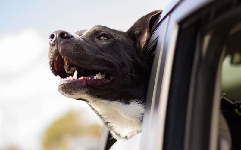 Beneficios adopción de perros.