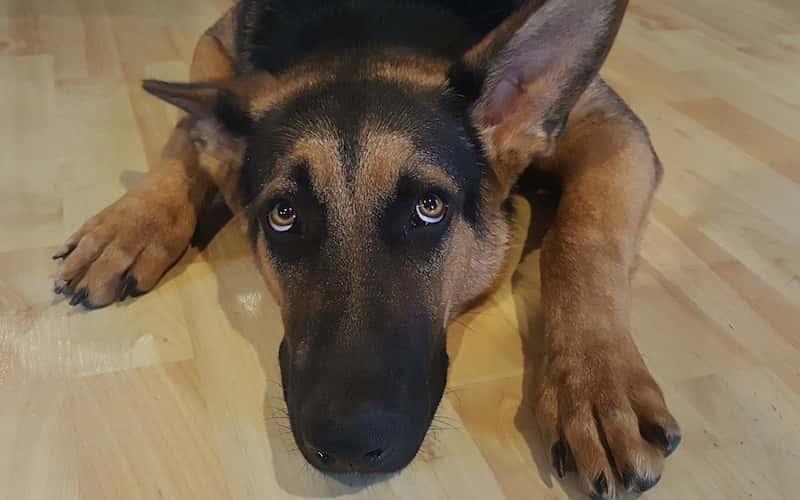 capacidad auditiva de los perros.