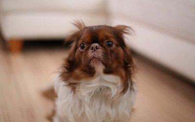 ¿Por qué los Perros Temen a los Truenos y a la Pirotecnia?