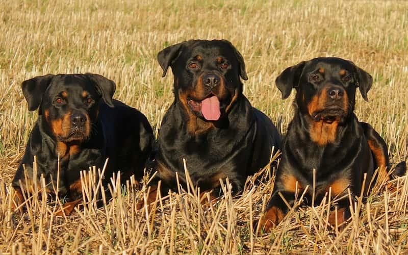 Problemas de salud del Rottweiler.