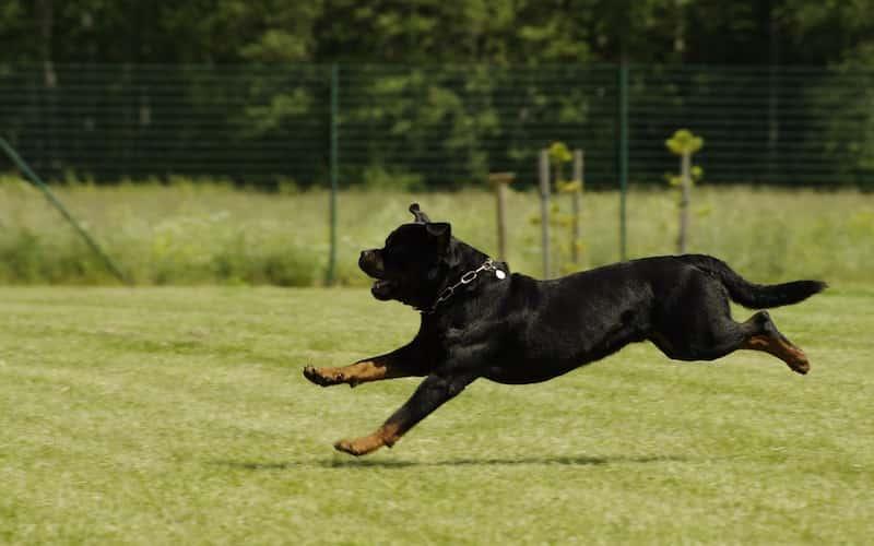 Comportamiento del Rottweiler.