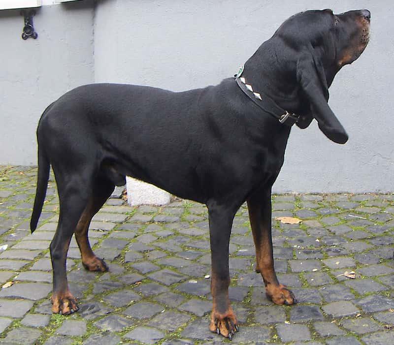 Coonhound negro y fuego.
