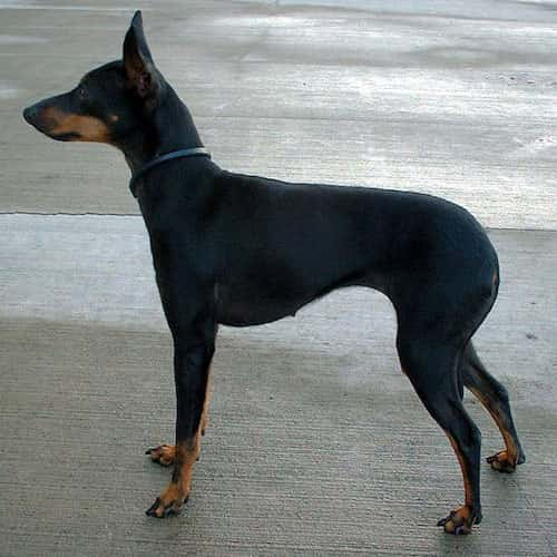 perro English Toy Terrier