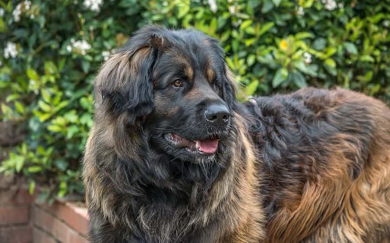 Leonberger perro