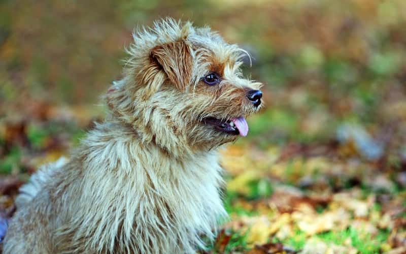 Terrier de Norfolk