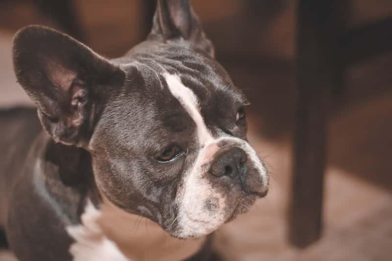 perro Bull dog francés