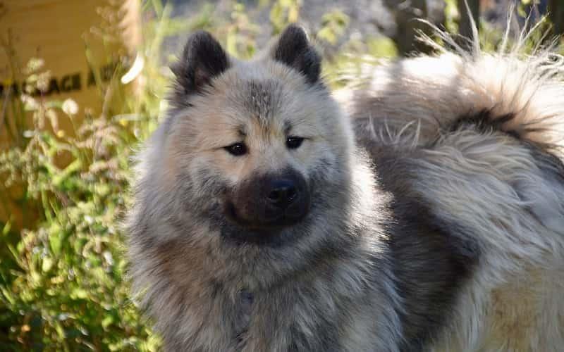 perro Eurasier.
