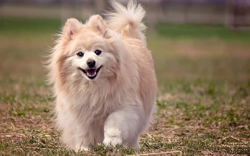 perro pomerano