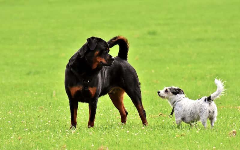 Rottweiler características