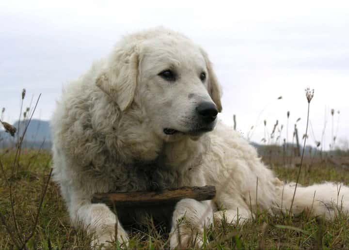 Kuvasz perro