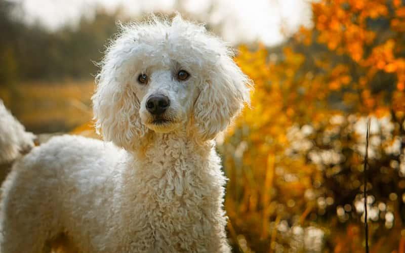 razas de perros medianos peludos