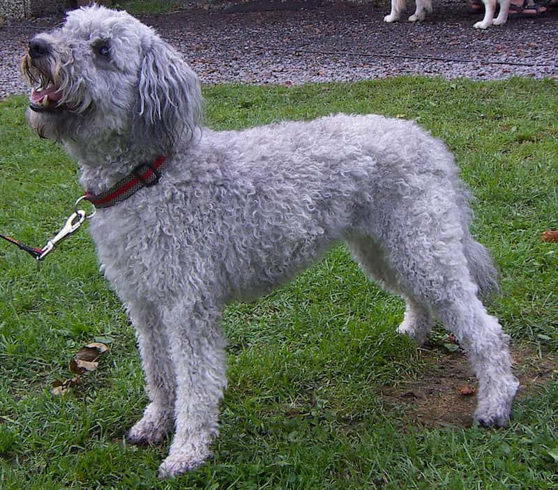 Pumi raza de perro